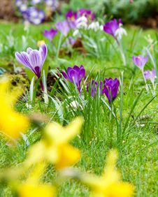 Free Purple Crocuses Stock Images - 88265054