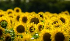 Free Sunflower Field Royalty Free Stock Photography - 88288157