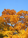 Free Maple In Autumn Royalty Free Stock Photography - 8831317