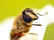 Free Bee Macro Royalty Free Stock Photo - 8831295