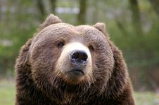 Free Grizzly Royalty Free Stock Photo - 8831405