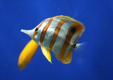 Free Tropical Fish Royalty Free Stock Photos - 8832128