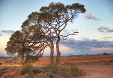 Free A Lonely Tree On Red Soil. Stock Images - 8832284