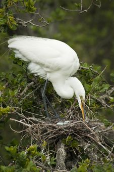 Free White Heron With Eggs Stock Photo - 8832820