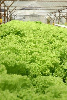 Free Lettuce Close Up Stock Image - 8833801