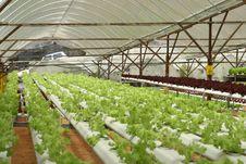 Free Indoor Letuce Farm Stock Photo - 8833850
