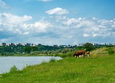 Free Cows Stock Images - 8835254
