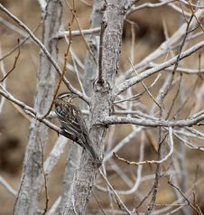 Free Female Red-winged Blackbird Royalty Free Stock Images - 8836419