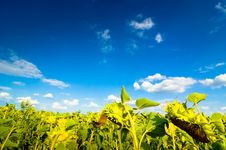 Free Sunflower Field Stock Photography - 8836802