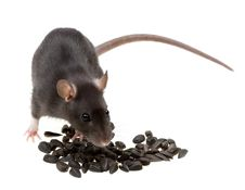 Free Funny Rat Eat Sunflower Seeds On White Stock Photography - 8839482