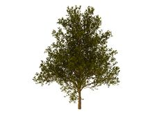 Free Green Tree Royalty Free Stock Images - 8839739