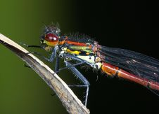 Free Red Damselfly Royalty Free Stock Photos - 8839928