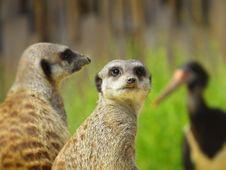 Free Pair Of Meerkats  Royalty Free Stock Photos - 88328758