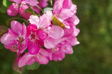 Free Spring Flowering Ornamental Apple Trees. Wild Apple Nieddzwetzkyana. Royalty Free Stock Photography - 88357327