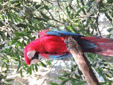 Free Scarlet Macaw Stock Image - 88366661