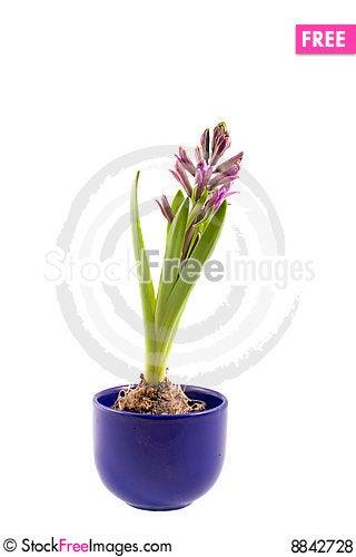 Hyaciunth Stock Photo