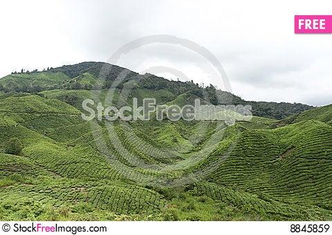 Tea Estate Stock Photo