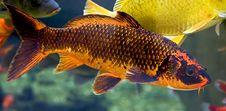 Free Goldfish 3 Royalty Free Stock Image - 8841366
