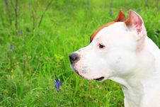 Free American Staffordshire Terrier Royalty Free Stock Photos - 8842668