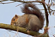 Free Gray Squirrel Royalty Free Stock Image - 8842746