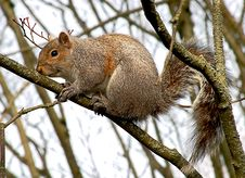 Free Gray Squirrel Royalty Free Stock Image - 8842766