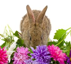 Close-up Small Bunny And Aster Flowers Royalty Free Stock Image
