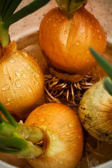 Spring Onions Stock Photo