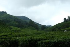 Free Tea Estate Stock Photos - 8845953