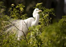 Free Great White Egret Stock Photo - 8846270