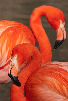 Free Cuban Flamingo Royalty Free Stock Photography - 8847447