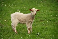 Free Lamb On The Grass Royalty Free Stock Photos - 8849348