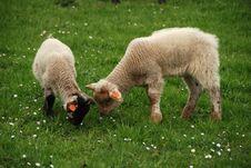 Lamb On The Grass Royalty Free Stock Photos