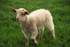 Free Lamb On The Grass Royalty Free Stock Photography - 8849517