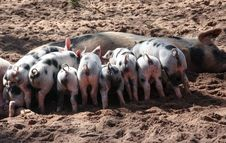 Free Black And White Pig Feeding Her Piglets Stock Photos - 88418453