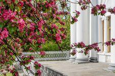 Free Spring Flowering Ornamental Apple Trees. Wild Apple Nieddzwetzkyana. Stock Photos - 88443003
