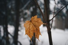 Free Cold Leaf Royalty Free Stock Image - 88493786
