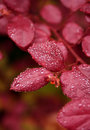 Free Red Leaves With Water Droplets Royalty Free Stock Photos - 8853358