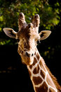 Free Beautiful Portrait Of A Giraffe Stock Photography - 8857922