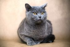 Free British Shorthaired Cat Royalty Free Stock Images - 8850409
