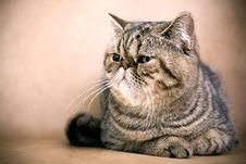 Free Persian Cat Stock Photography - 8850492
