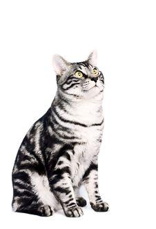 Free Purebred Kunashir Cat Stock Image - 8850701