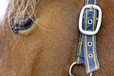 Free Horse Head With Belt And Buckle On Hair Stock Photo - 8850750