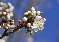Free Spring Blossoms Royalty Free Stock Images - 8852359