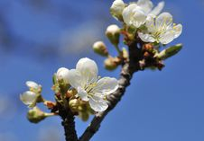 Free Spring Blossoms Royalty Free Stock Images - 8852419