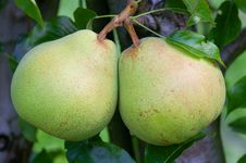 Free Pears On A Tree Stock Image - 8853411