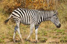 Free Zebra Royalty Free Stock Photos - 8853998