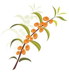 Free Sea-buckthorn Berries Royalty Free Stock Photography - 8854007