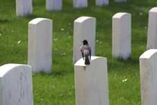 Free Bird Sitting On Grave Tombstone Royalty Free Stock Image - 8857156