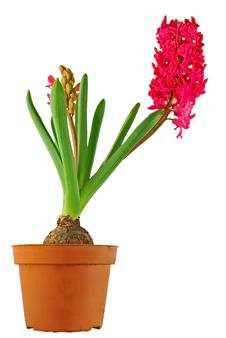 Free Isolated Hyacinthus Royalty Free Stock Images - 8857209