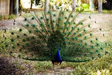 Free Beautiful Peacock Royalty Free Stock Photography - 8857987